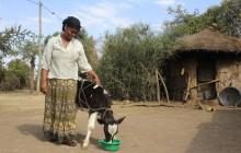 Lama Babi krijgt bonus-kalf